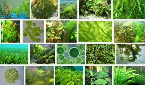 algen1